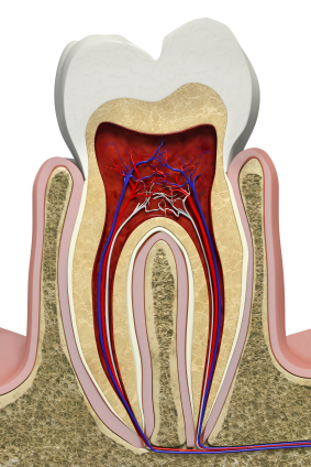 Illustration of the cross section of a molar tooth with gums and bone used for education by Williston Park dentist at Long Island Smile.